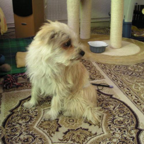 Therapiehund Roula